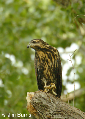 immature Common Black Hawk