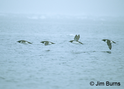 Thick-billed Murres in flight
