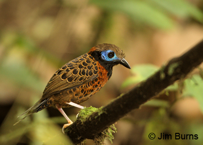 Ocelated Antbird
