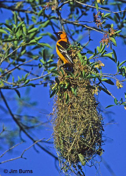 Altamira Oriole at nest