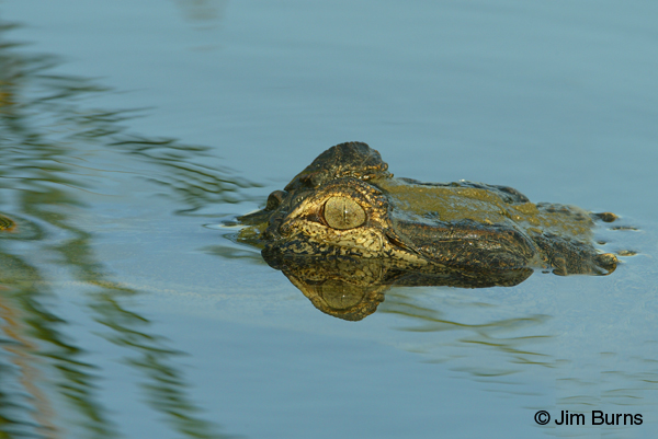 American Alligator in blue pond