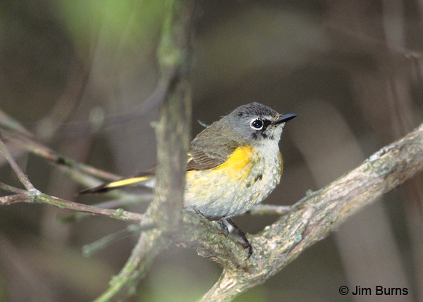 American Redstart first spring male