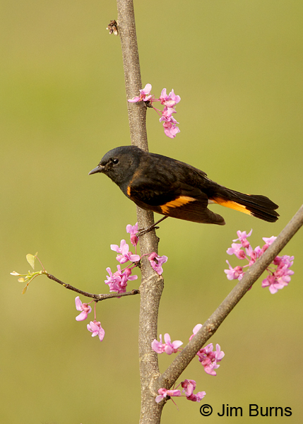 American Redstart male in Redbud #2