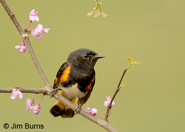 American Redstart male in Redbud #3