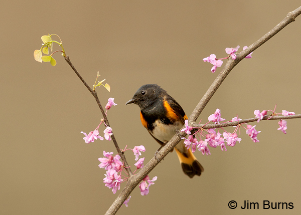 American Redstart male in Redbud #4