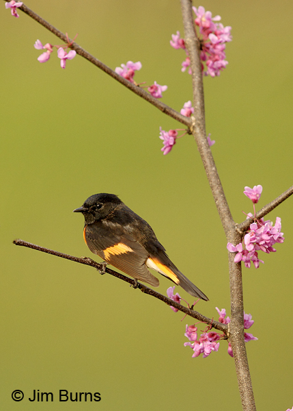 American Redstart male in Redbud