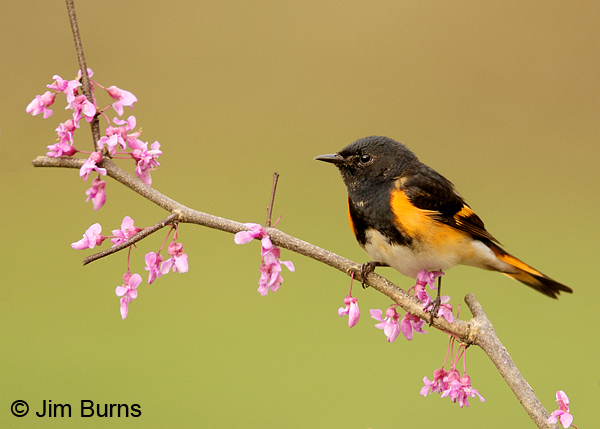 American Redstart male in Redbud #5