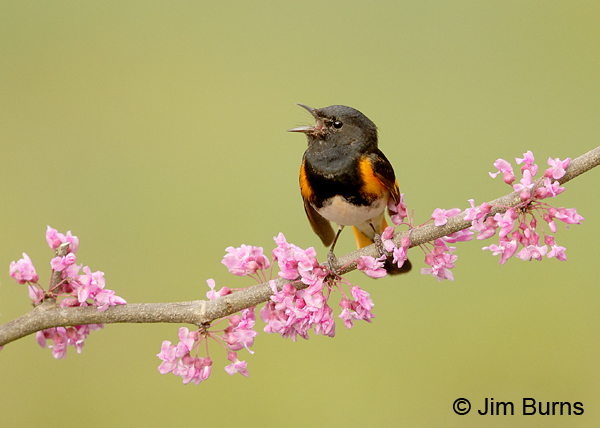 American Redstart male singing in Redbud