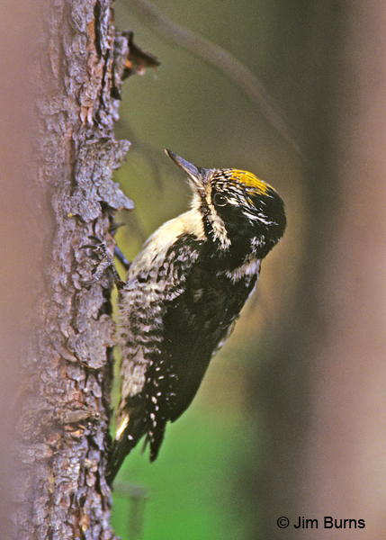 American Three-toed Woodpecker male fasciatus race