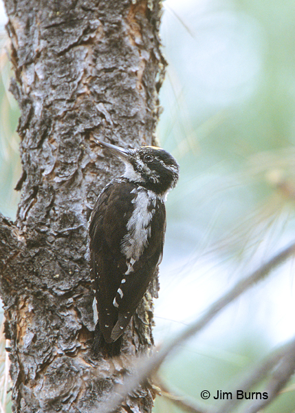 American Three-toed Woodpecker male dorsalis race