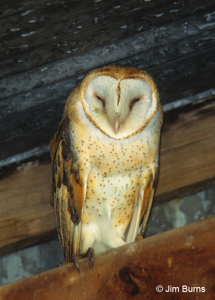 Barn Owl female in barn