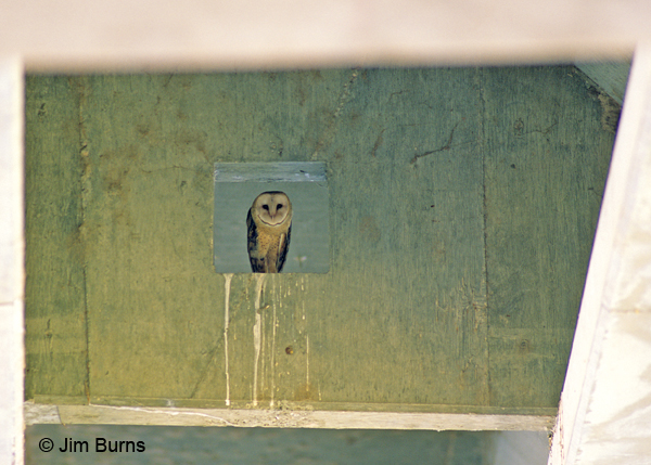 Barn Owl female roost in bridge abutment
