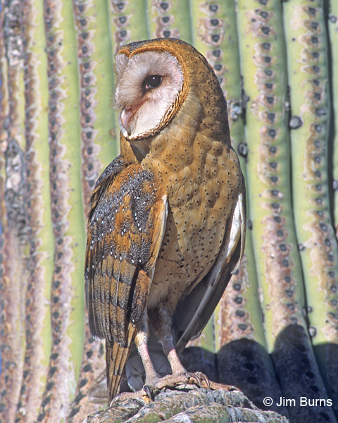 Barn Owl female