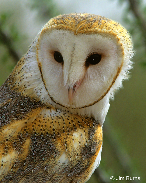 Barn Owl head shot