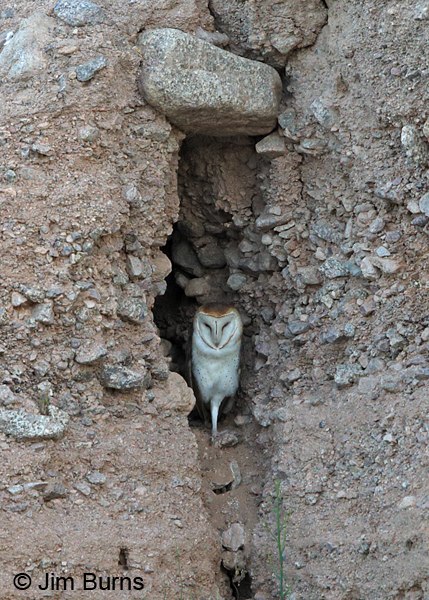 Barn Owl male in crevice