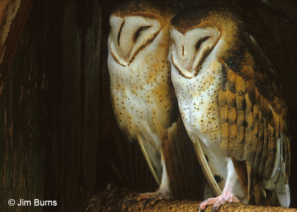 Barn Owl pair-female on left