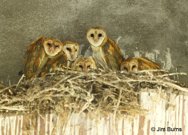 Barn Owls' family portrait the five siblings