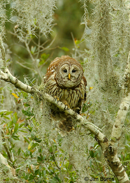 Barred Owl in Spanish Moss