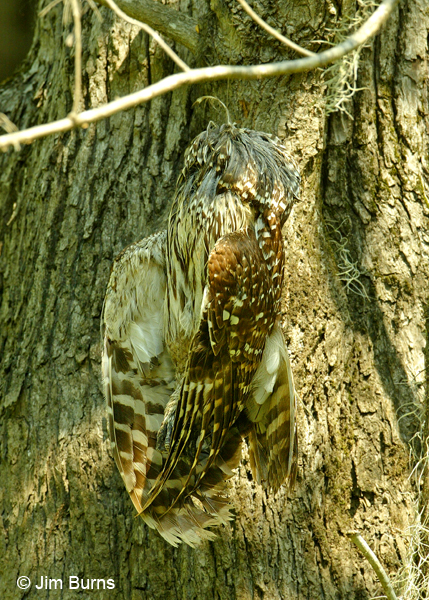 Barred Owl perils of fishing line