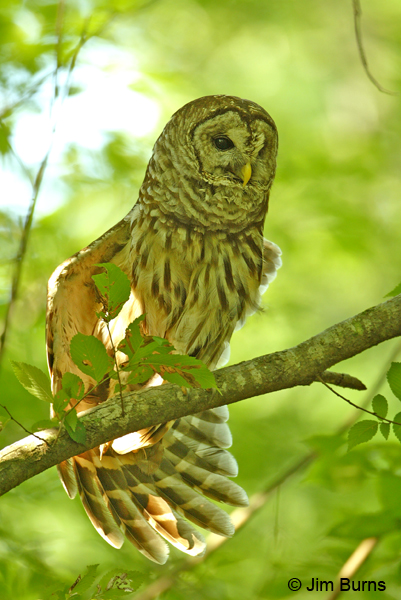 Barred Owl wingstretch