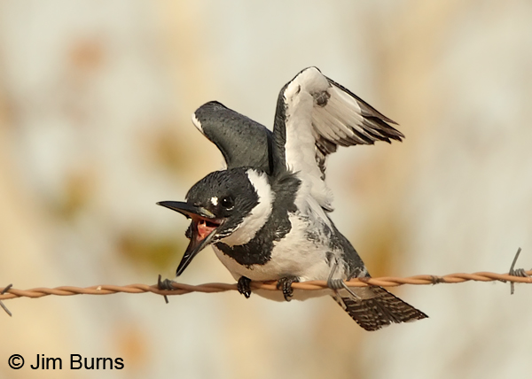 Belted kingfisher with fish