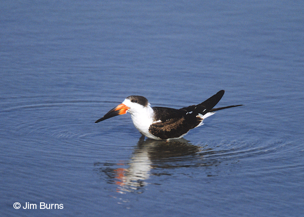 Black Skimmer 1st winter in water