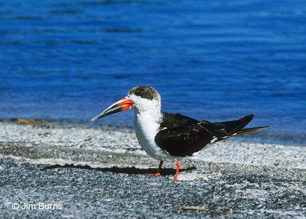 Black Skimmer 1st winter on beach