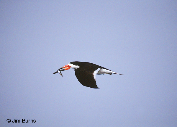 Black Skimmer adult breeding in flight with fish