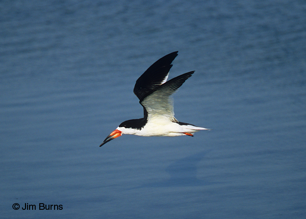 Black Skimmer adult breeding in flight