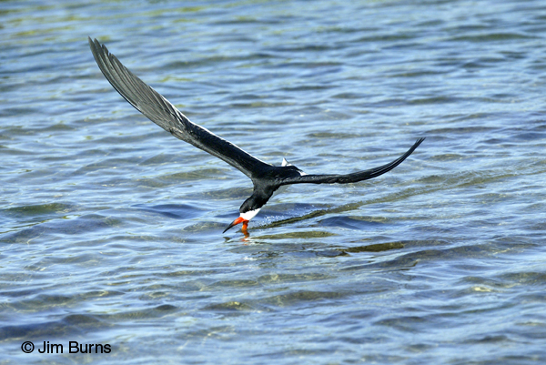 Black Skimmer adult female skimming