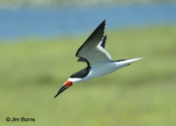 Black Skimmer adult male in flight