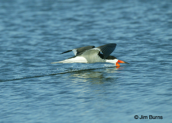 Black Skimmer adult male skimming