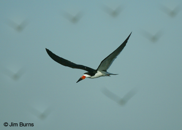 Black Skimmer flying with gulls