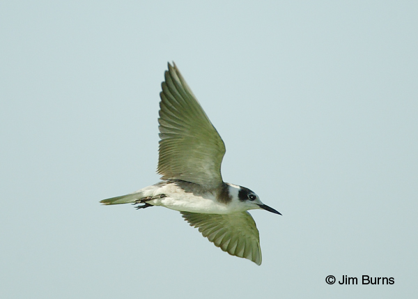 Black Tern in flight ventral