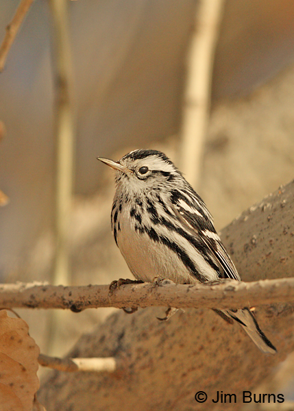 Black-and-white Warbler male, adult winter