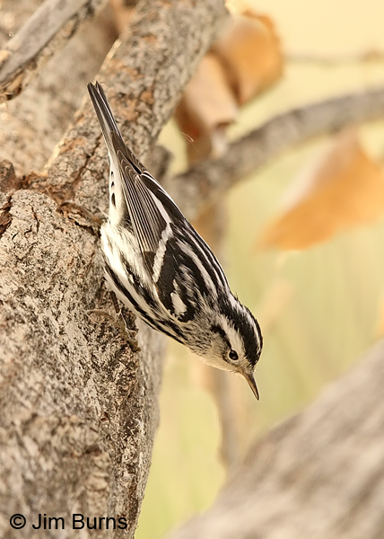 Black-and-white Warbler male playing Nuthatch