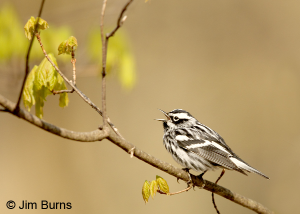 Black-and-white Warbler male singing