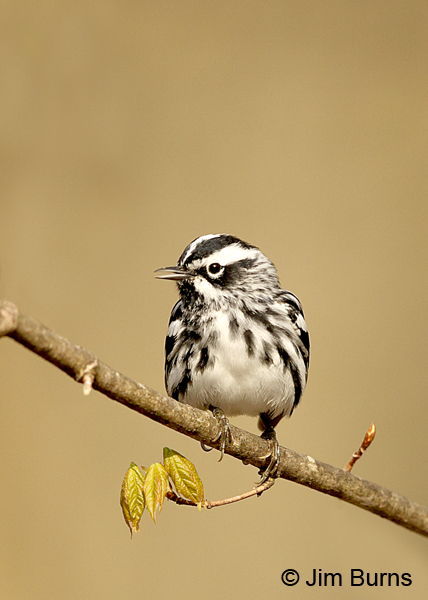 Black-and-white Warbler male on new leaves