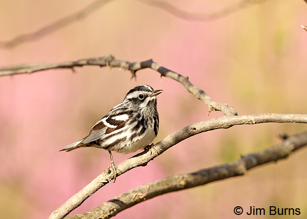 Black-and-white Warbler male in Redbud