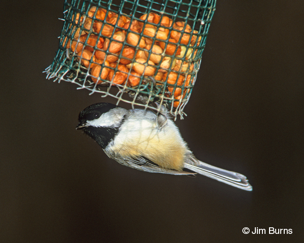 Black-capped Chickadee at peanut feeder