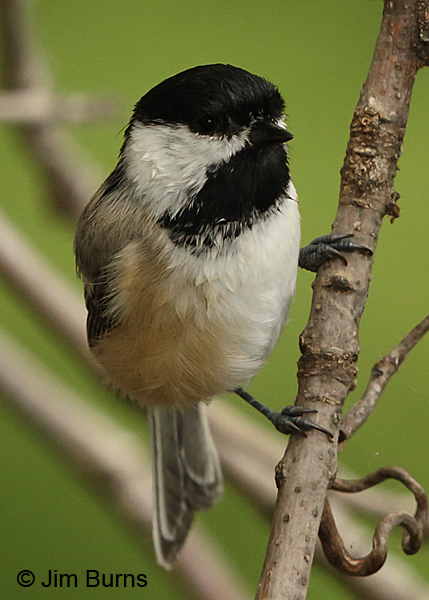 Black-capped Chickadee vertical
