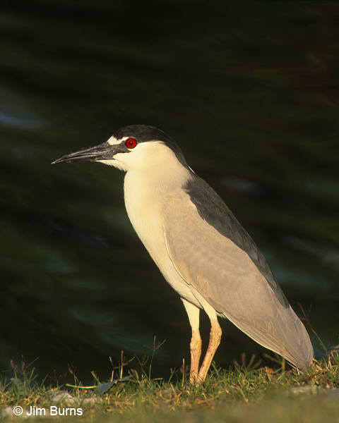 Black-crowned Night-Heron adult protrait
