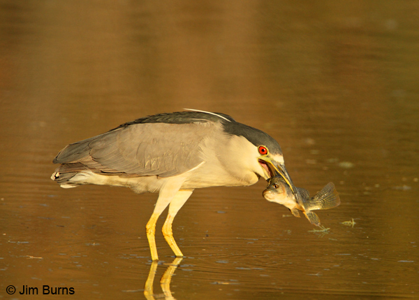 Black-crowned Night-Heron adult with fish