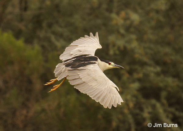 Black-crowned Night-Heron adult in flight #3