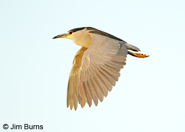Black-crowned Night-Heron adult in flight
