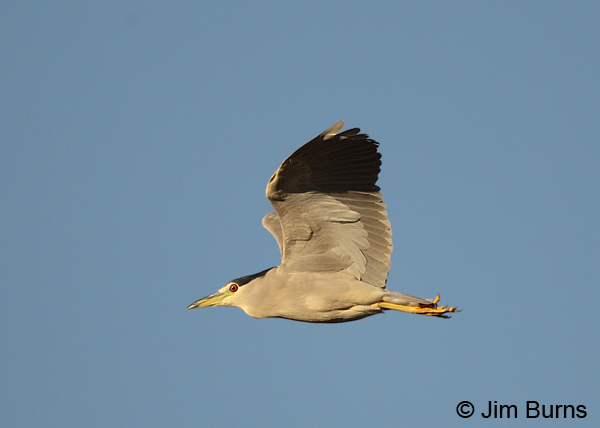 Black-crowned Night-Heron in flight ventral view