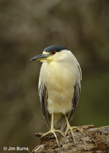 Black-crowned Night-Heron adult
