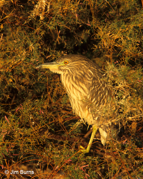 Black-crowned Night-Heron juvenile at sunrise