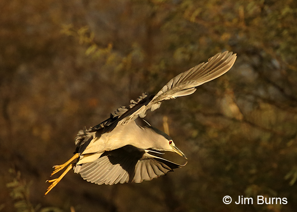 Black-crowned Night-Heron incoming to roost