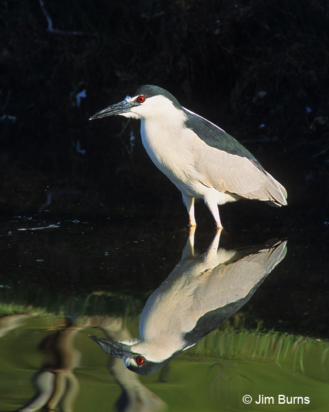 Black-crowned Night-Heron reflections